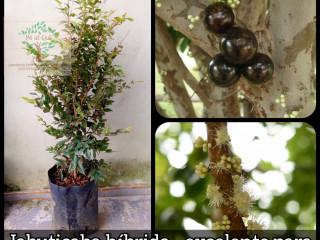 Jabuticaba híbrida - a espécie produz o ano todo