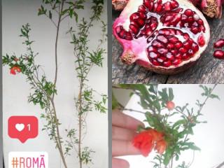 Romã - já produz frutos e pode ser facilmente cultivada em vaso