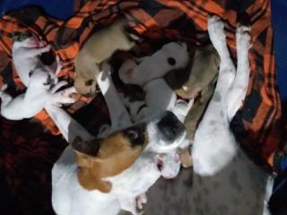 Vendas de filhotes de cachorro Boxer