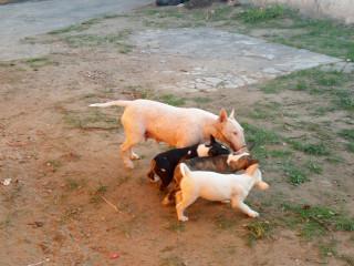 Fêmeas de Bull terrier.
